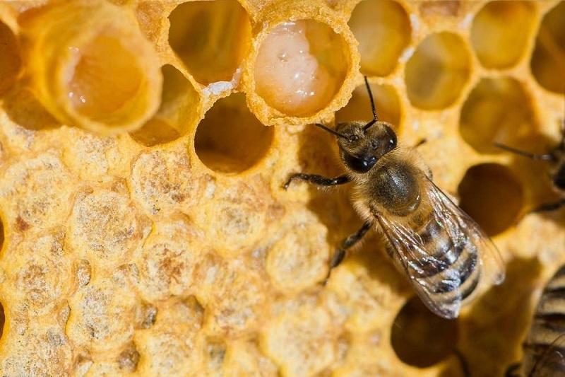 นมผึ้ง ผลิตภัณฑ์เสริมสุขภาพเทรนด์ใหม่ คุณประโยชน์เต็ม ๆ